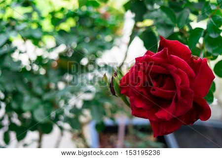 Red rose in a garden. Rose bush.