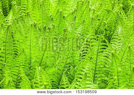 Abstract natural green growing fern (Athyrium filix-femina) background lightened with soft light