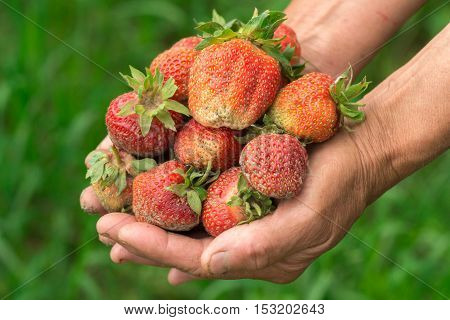 Strawberry in hand. Hands gardener. Work-worn hands. Farmer with freshly strawberry