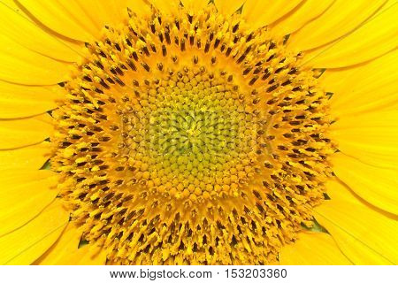 Middle of sunflower. Close up shot flower