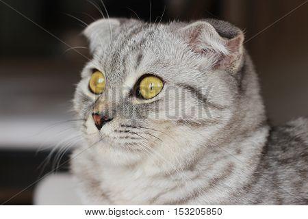 scottish fold gray cat look, cute cat