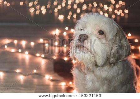 Lhasa Apso dog looking up with christmas lights on the background. For advertising some petshop on Christmas Eve. Blank space to the left to put text.