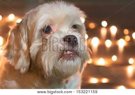 Lhasa Apso dog with blurred christmas lights on the background. For advertising some petshop on Christmas Eve. Blank space to the right to put text.