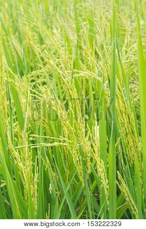 Green ear of rice in paddy rice field,agricultural concept.