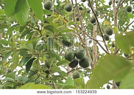 Avocado Palta Guacamole On Tree