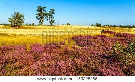 Purple blooming calluna heather fields along the mini desert of Beekhuizerzand in the Veluwe area of the Netherlands.