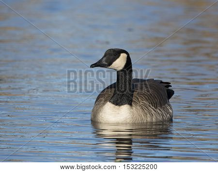 Canada goose floating on water looking to side