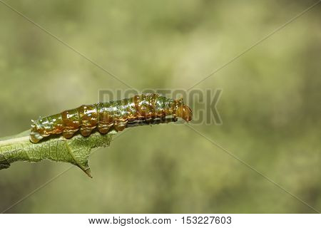 Mature 4Th Instar Caterpillar Of Banded Swallowtail Butterfly (papilio Demolion)