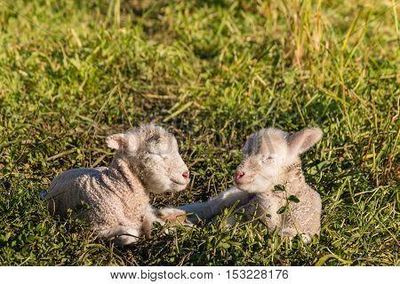 closeup of two little lambs sleeping on meadow