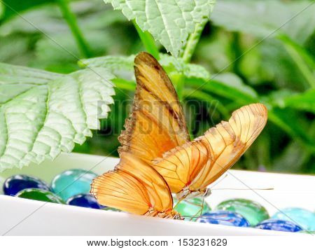 The Orange Sulphur butterflies in garden of Niagara Falls Canada July 16 2016