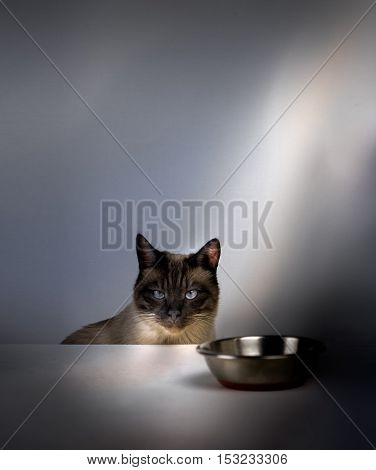 Siamese cat sitting at the table in front of an empty bowl and waiting for food.