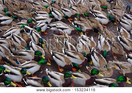 A large group of Mallard ducks feed on land make a pattern with their colorful feathers.