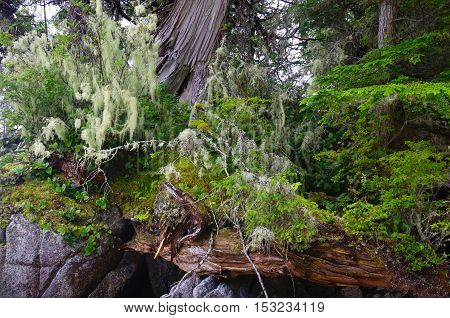 Cedar trees lichen covered branches a fallen log and other plant life on rocks near the shore on an island in the Great Bear Rainforest British Columbia.