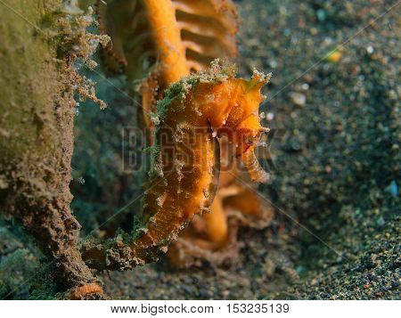 The surprising underwater world of the Bali basin, Island Bali, Pemuteran, sea horse