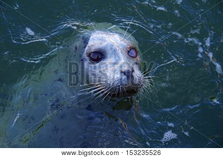 A one-eyed harbour seal waits expectantly in the blue-green sea for a handout.