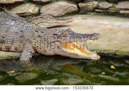 Freshwater Crocodile, Siamese Crocodile (crocodylus Siamensis).