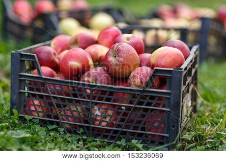 Crates Of Freshly Picked Apples