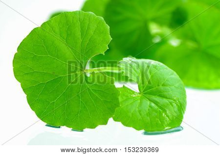 Indian Pennywort Brain Tonic Herbal Plant.