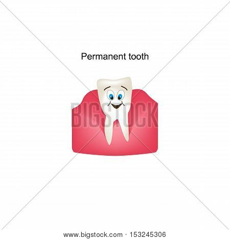 Permanent teeth in the gums. Children cartoon style. Infographics. Vector illustration on isolated background.