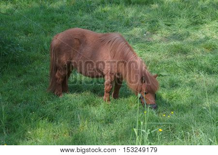 Beautiful brown pony in a pasture in the summer.