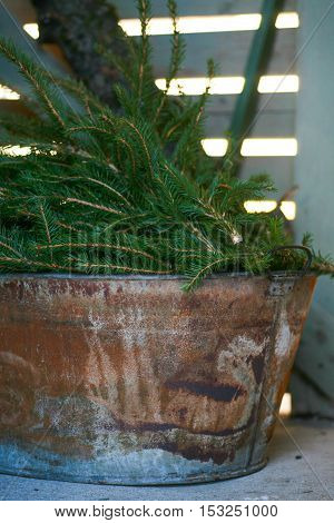 Spruce tree branches at Christmas time in an old rusty decorative bucket