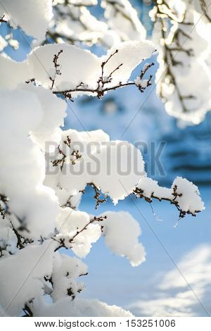 Tree branches covered in heavy snow on a sunny winter morning