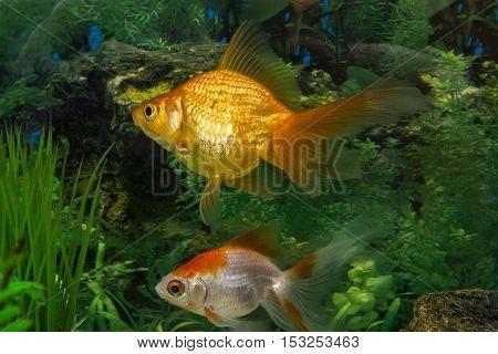 living beautiful aquarium fish in the aquarium