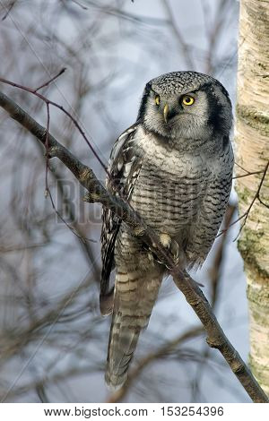 Hawk Owl from south Sweden. Looking for a little mouse