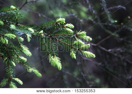 Coniferous trees in forest / Needles close-up