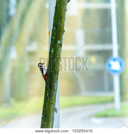 greater spotted woodpecker on tree in suburban street