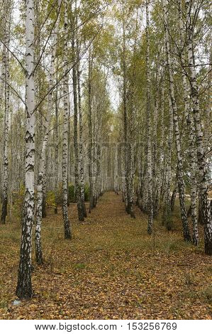 Autumn in the birch grove. Yellow fallen leaves. Forest regeneration