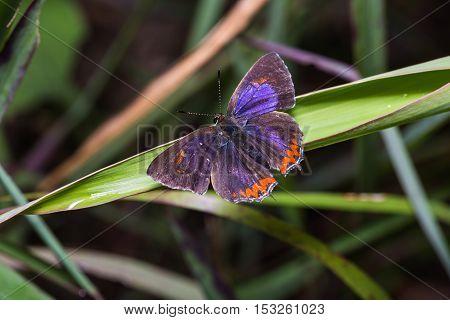 Common Purple Sapphire Butterfly