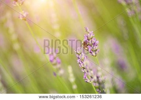 Closeup Photo Of Lavender Flowers