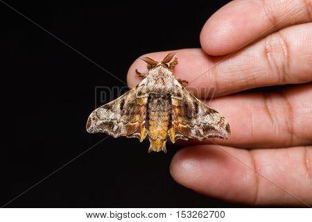 Male Gunda Ochracea Moth