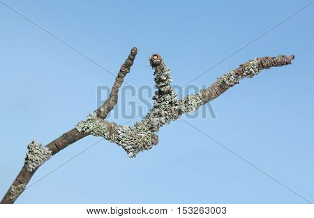 Macro of grey lichen on withered dry branch over blue sky background