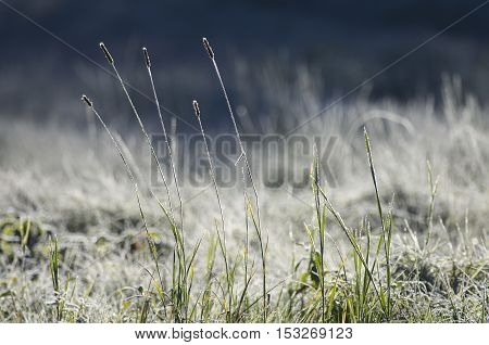 Timothy-grass among the meadow covered with hoarfrost. First morning frosts.