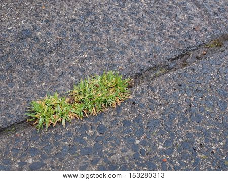 Fresh green leaves emerging from a gap in a concrete path Australia 2016