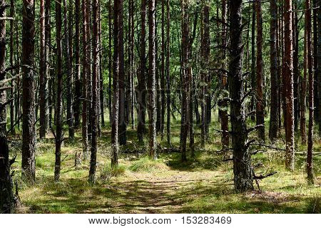 Pine forest. Russian part of Curonian Spit in summertime. Curonian spit is the most popular destination of the Kaliningrad region. It is a UNESCO World Heritage Site. Russia