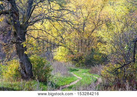 Autumn In The Deciduous Forest In The Foreground Without Elm Leaf In The Background A Large Maple Tr