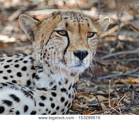 Cheetah resting in the shade while looking directly ahead