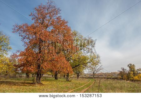 Autumn, Elm With Bright Red Leaves. A Tall Deciduous Tree That Typically Has Rough Serrated Leaves.