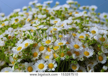 Bouquet of wild daisies in a glass vase. wild chamomile close up.