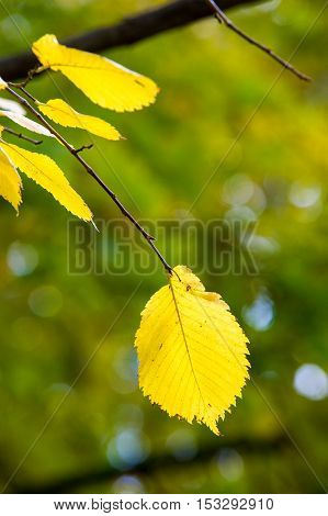 Leaves Fall Elm, Large Deciduous Tree With Solid Wood.