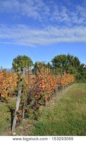 Autumnal rows of grape vines in late October in the north east Italian region of Friuli Venezia Giulia.