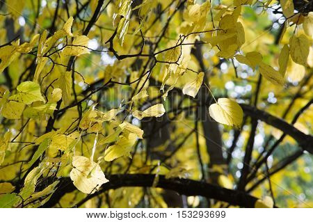 Texture, Pattern, Background. Leaves Fall. Leaves And Twigs With Leaves Of Linden. A Deciduous Tree