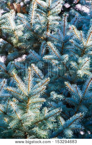 Blue Spruce. Beautiful Blue Spruce In The Glow Of The Setting Sun.