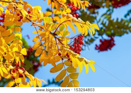 Texture, Background. Autumn Leaves Of Rowan Tree. A Mountain Ash, In Particular The European Sorbus