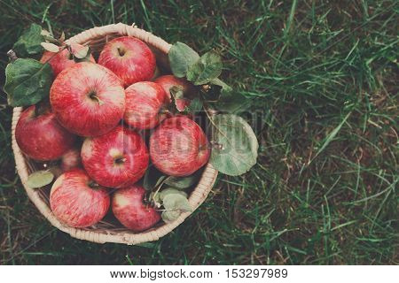 Wicker basket full of red and yellow ripe autumn apples top view on green grass background. Seasonal fruit gathering, fall harvest in apple garden, agriculture and farming concept