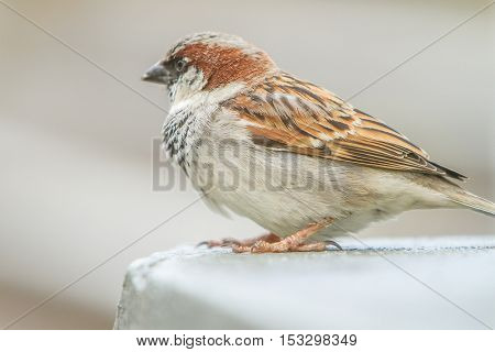 Close up House Sparrow, Passer domesticus