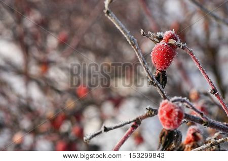 Closeup of rosehip berries covered in frost with a shallow depth of field